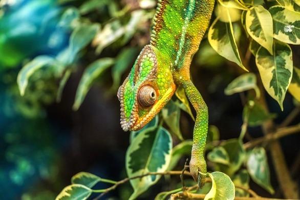 chameleon-384964_640