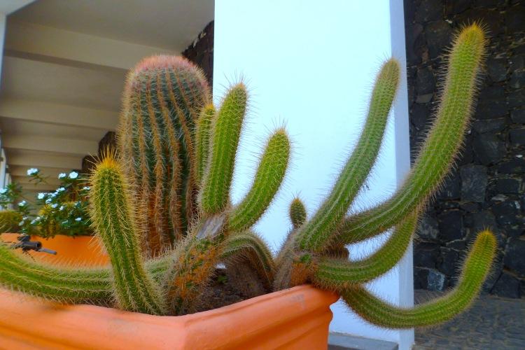 Cactus Cacti in Cape Verde Santa Maria SAM_2210