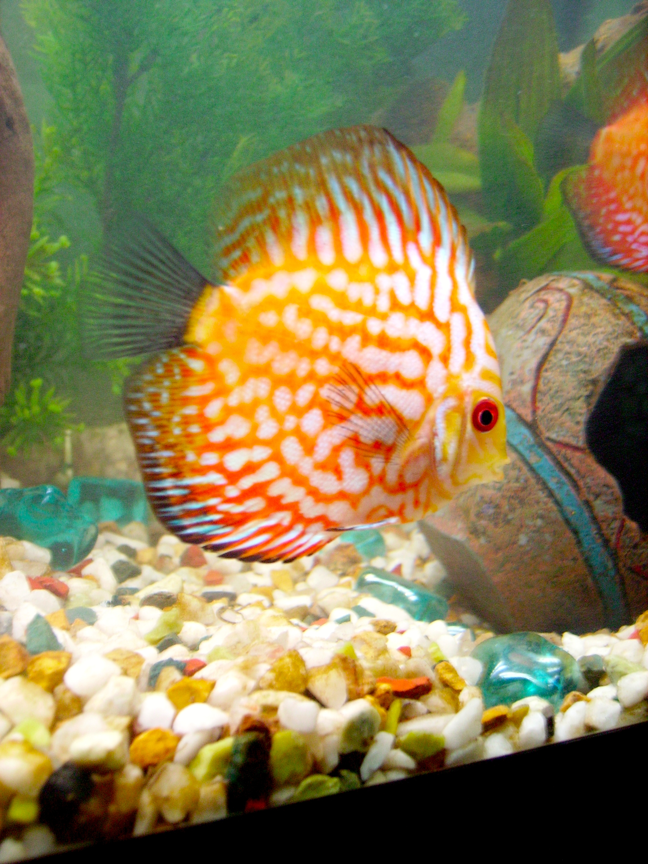 Discus Not Eating Food