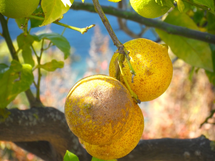 Travel Blog Lemon Tree Parga Greece Perveza fruit SAM_2043