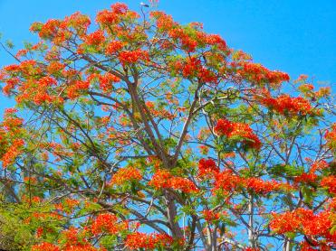 Mauritian flame tree