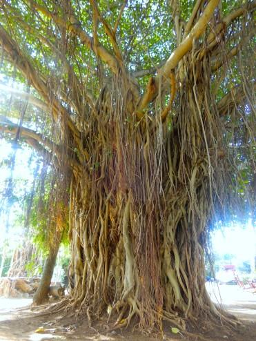 Mauritius Grand Baie Cherrylsblog.com trees DSCN8586