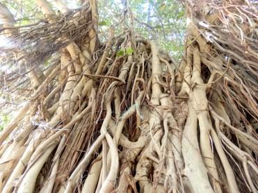 Mauritius Grand Baie Cherrylsblog.com trees roots DSCN8590