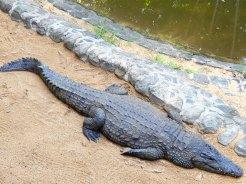 Mauritius La Vanille Nature Park Crocodile Park DSCN0462